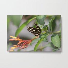 Zebra Longwing on a Firebush flower Metal Print