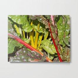 Rhubarb stems and leaves Metal Print