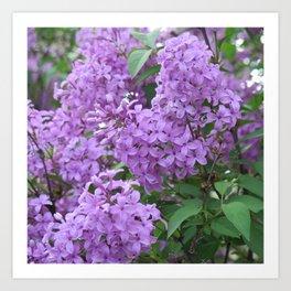 Lilac Blossoms Art Print