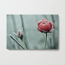 frosted rose and bud in the cold winter Metal Print