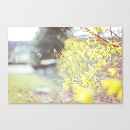 Yellow Forsythia Canvas Print