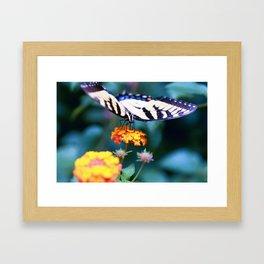 Lantana - Lantana camara cv. Miss Huff Framed Art Print