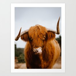 Scottish Highland Cow Sticking Long Tongue in Nose | Horns | Animal Photography Art Print