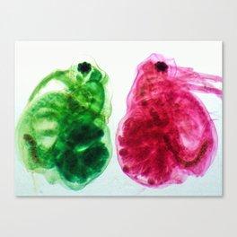 Daphnia Canvas Print