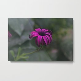 Has been a long day (African Daisy Flower) Metal Print