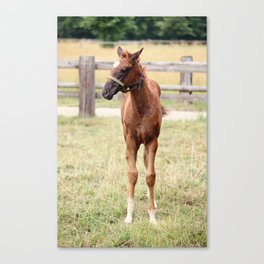 Little Horse Canvas Print
