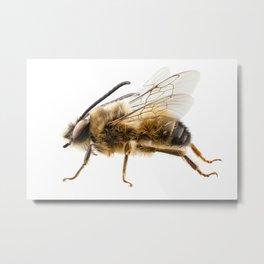 Bee species Eucera longicornis common name Solitary miner bee Metal Print