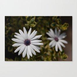 Shasta Daisy Pair Canvas Print