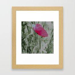 Pink poppy in a field Framed Art Print