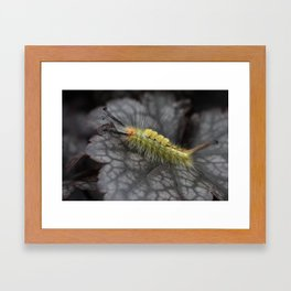 White Marked Tussock Caterpillar Framed Art Print