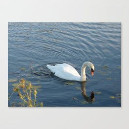 Pure white swan in dark blue water  Canvas Print