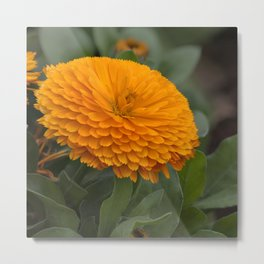 Calendula Flower Metal Print