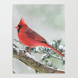 Cardinal Holding Steady in the Storm Poster
