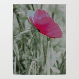 Pink poppy in a field Poster