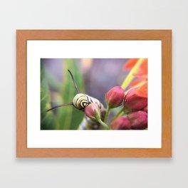 Monarch Caterpillar Framed Art Print