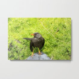 Thrush in a Field Metal Print