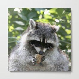 Raccoon_20150115_by_JAMFoto Metal Print