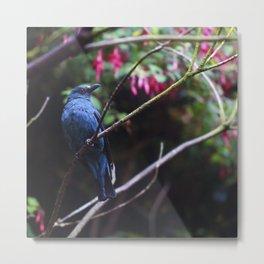 Asian Fairy Bluebird Metal Print