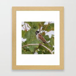 Reed Bunting Framed Art Print