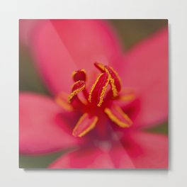 Stamens of a Jatropha Integerrima Metal Print