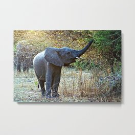 African Baby Elephant Acacia Tree Forest Africa Metal Print
