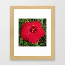 Hibiscus 'Fireball' - regal red star of my late summer garden Framed Art Print