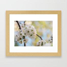 Pear Blossoms in spring. Framed Art Print