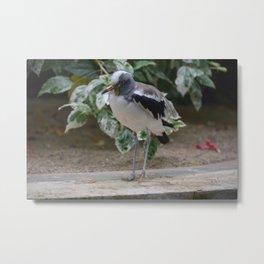 National Aviary - Pittsburgh - White Headed Wattled Lapwing Metal Print