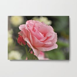 Pink wet rose Metal Print