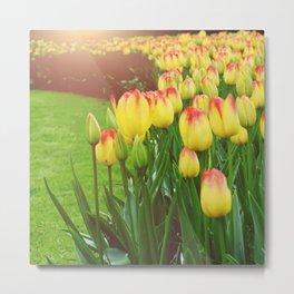 Yellow Red Tulips Metal Print