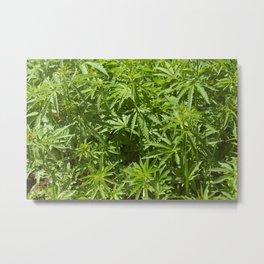 Cannabis Texture Marijuana Leaf Metal Print