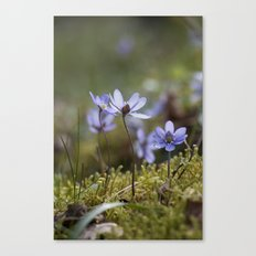 Anemone Hepatica  Canvas Print