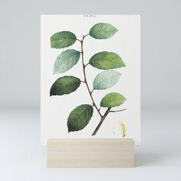 Eared willow (Salix ulmifolia) from Traité des Arbres et Arbustes que l'on cultive en France en plei Mini Art Print