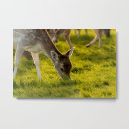 Calf eating some grass Metal Print
