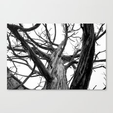Old Juniper Canvas Print