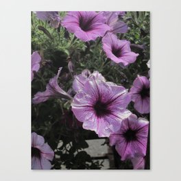 Faces Of Petunias Canvas Print