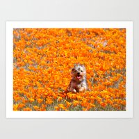 minnie Art Prints featuring Yorkie in Poppies by Sue Liberto Photography