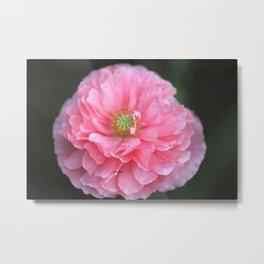 Pink Ruffled Poppy Flower Metal Print
