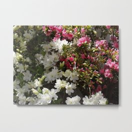 Azalea Blooms Metal Print