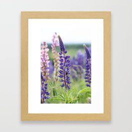Colorful lupines Framed Art Print