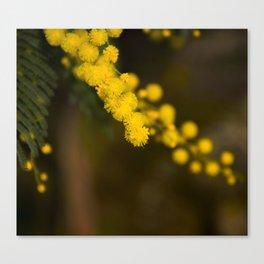 mimosa flower Canvas Print