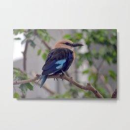 National Aviary - Pittsburgh - Blue Bellied Roller Metal Print