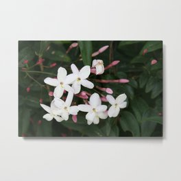 Delicate White Jasmine Blossom with Green Background Metal Print