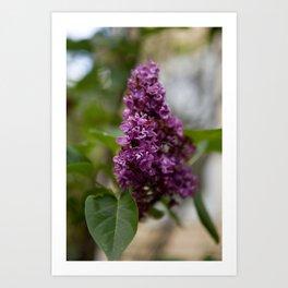 Fresh Purple Lilac Art Print