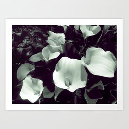 Calla Lilies in Black and White Art Print
