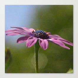 Macro Shot Of A Purple Osteospermum Canvas Print