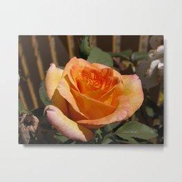 Delicate orange rose Metal Print