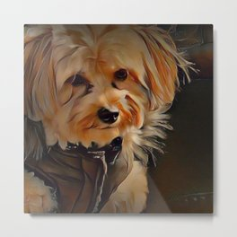 Copper the Havapookie with coat Metal Print