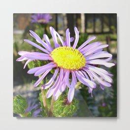 Close Up of A Violet Aster Flower Spring Bloom  Metal Print