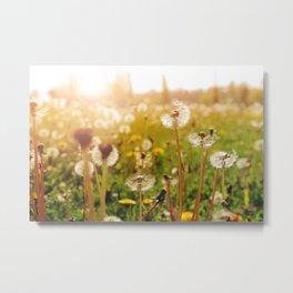 Dandelion during sunset Metal Print